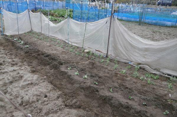 新春玉葱の肥大とソラマメ植え付け_f0018078_17145136.jpg