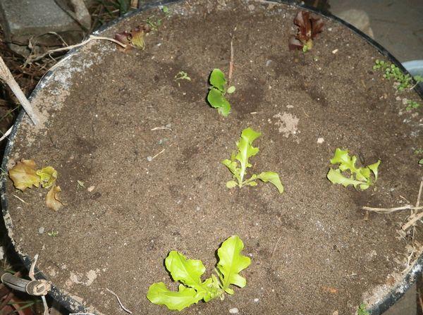 新春玉葱の肥大とソラマメ植え付け_f0018078_17151192.jpg