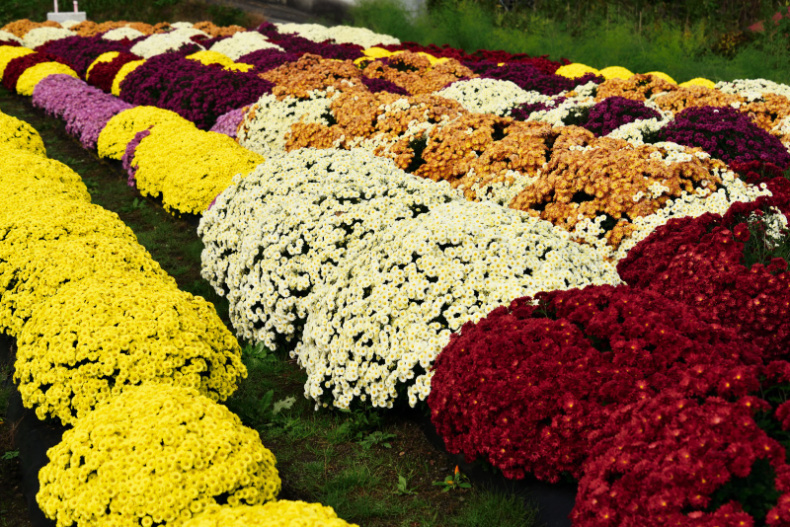 菊畑が綺麗_d0341880_20045344.jpg