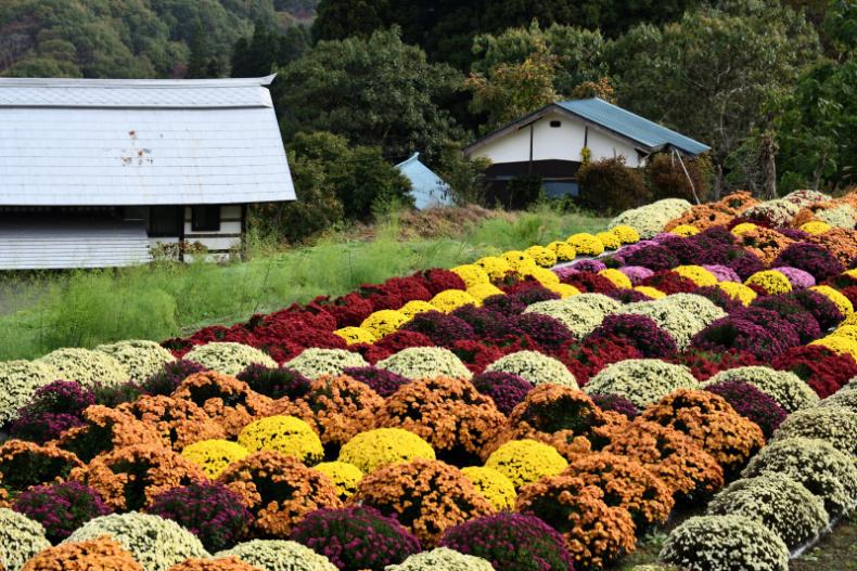 菊畑が綺麗_d0341880_20045702.jpg