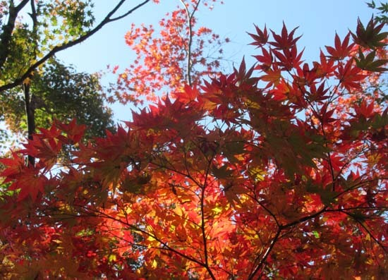 紅葉が盛り 植物園_e0048413_20404046.jpg