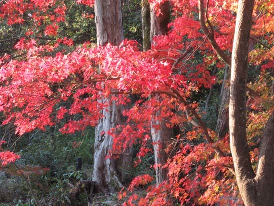 紅葉が盛り 植物園_e0048413_20405367.jpg