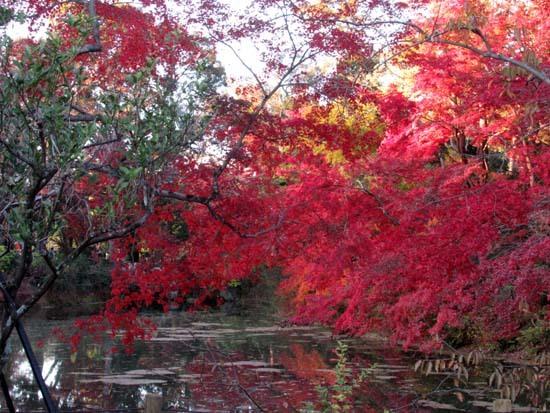 紅葉が盛り 植物園_e0048413_20412392.jpg