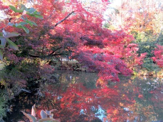 紅葉が盛り 植物園_e0048413_20412832.jpg