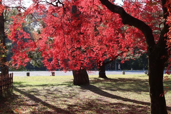 紅葉が盛り 京都御苑_e0048413_22243352.jpg