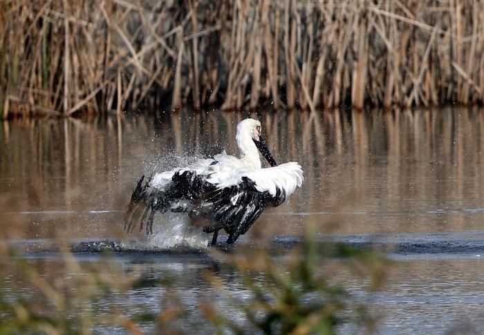 コウノトリ2羽と初めて見た水浴び_f0239515_18321481.jpg