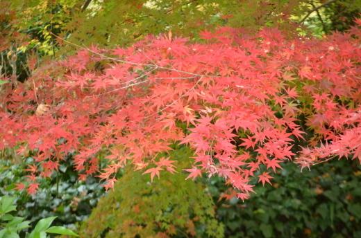紅葉が見ごろです♪_e0135518_14503249.jpg