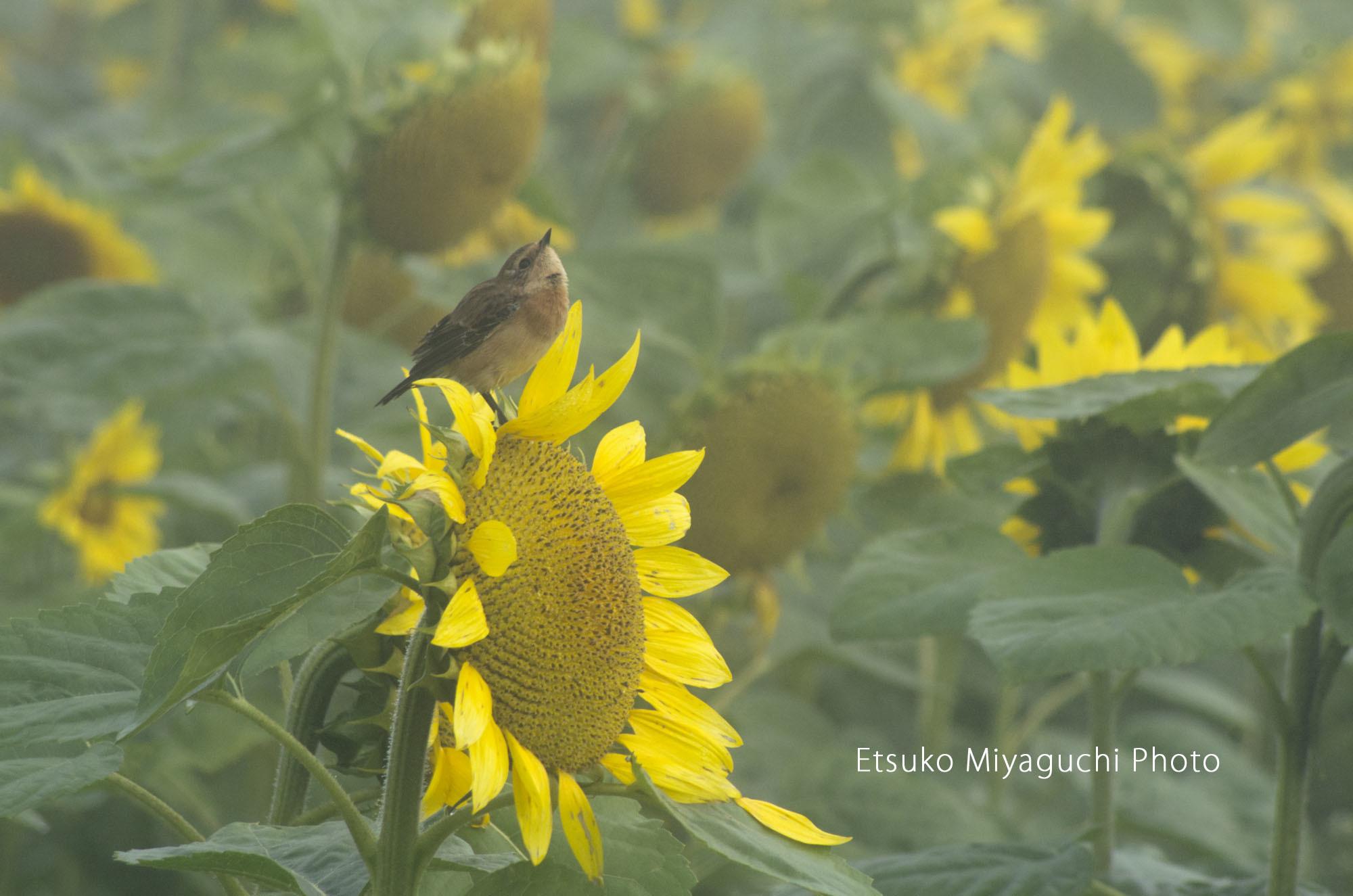小鳥とひまわり_f0152939_04441827.jpg