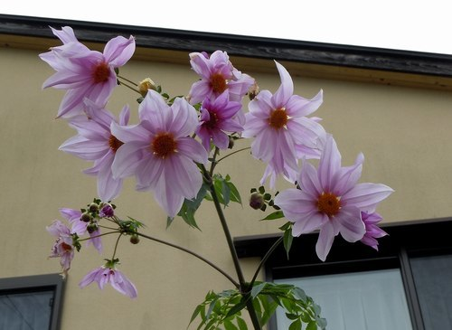 路傍の花、樹々の鳥(357) ~ 晩秋に咲く ~_b0102572_09291243.jpg