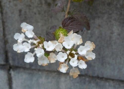 路傍の花、樹々の鳥(357) ~ 晩秋に咲く ~_b0102572_09312485.jpg