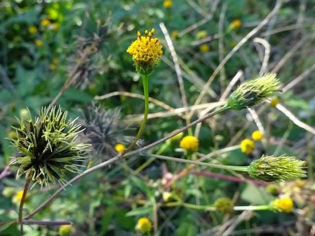 縄文遺跡公園の花々_d0088184_22512518.jpg