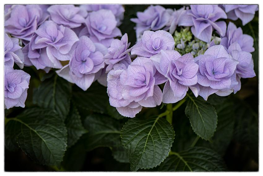 紫陽花_d0111087_04094545.jpg