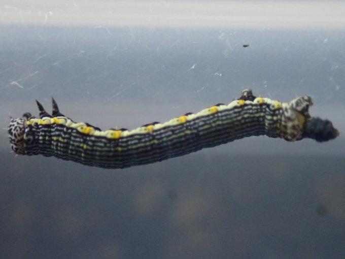 フユシャク幼虫飼育① フチグロトゲエダシャク2019/11/27_d0251807_17002550.jpg