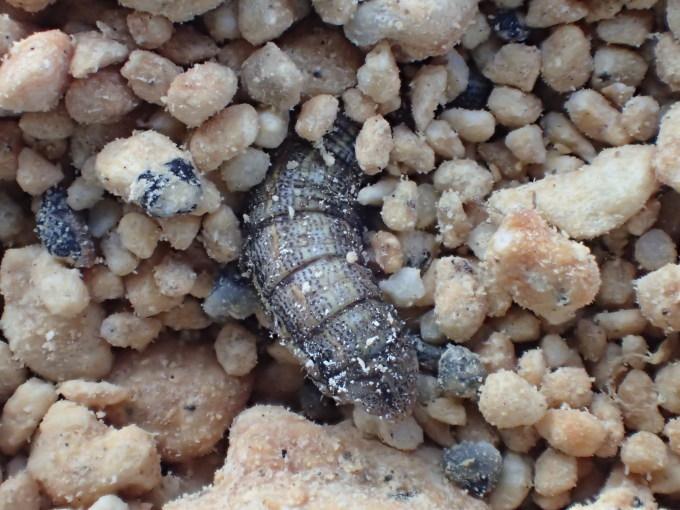 フユシャク幼虫飼育① フチグロトゲエダシャク2019/11/27_d0251807_17043705.jpg