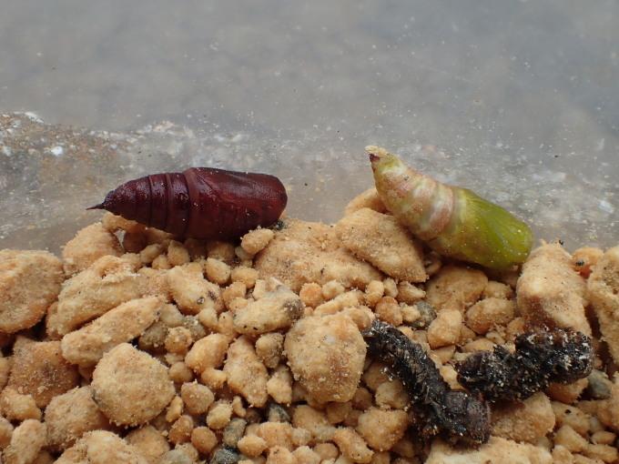 フユシャク幼虫飼育① フチグロトゲエダシャク2019/11/27_d0251807_17062059.jpg