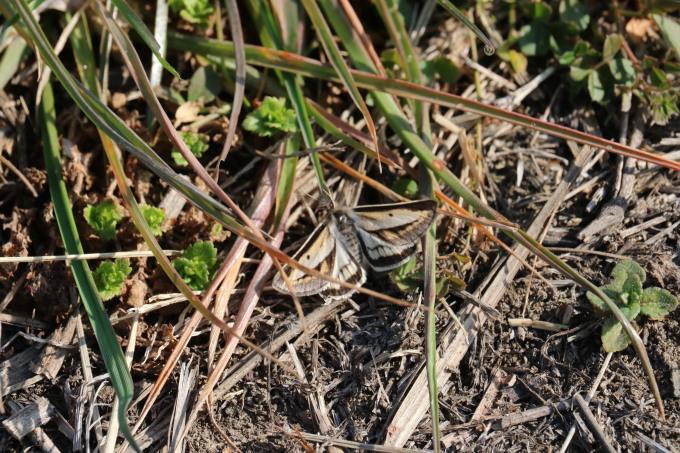 フユシャク幼虫飼育① フチグロトゲエダシャク2019/11/27_d0251807_17071265.jpg