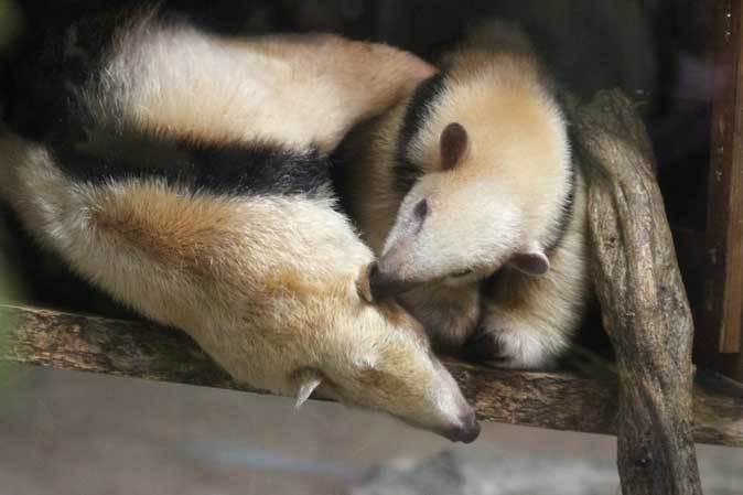 耳をなめあうミナミコアリクイ親子「ナツ&サン」~アオバズクの若鳥(上野動物園)_b0355317_21594617.jpg
