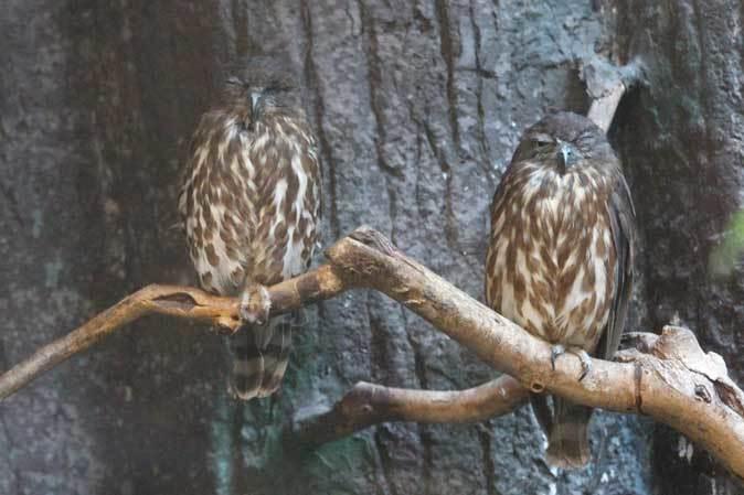 耳をなめあうミナミコアリクイ親子「ナツ&サン」~アオバズクの若鳥(上野動物園)_b0355317_22125613.jpg