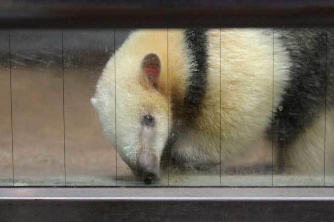 耳をなめあうミナミコアリクイ親子「ナツ&サン」~アオバズクの若鳥(上野動物園)_b0355317_22191977.jpg