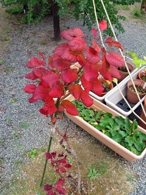 スモークツリーの紅葉_f0129726_18375357.jpg