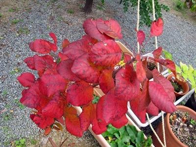 スモークツリーの紅葉_f0129726_18375515.jpg