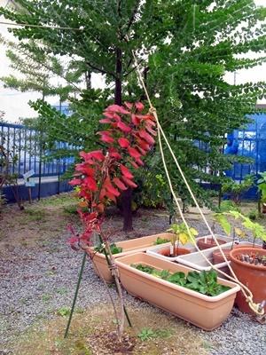 スモークツリーの紅葉_f0129726_18380694.jpg