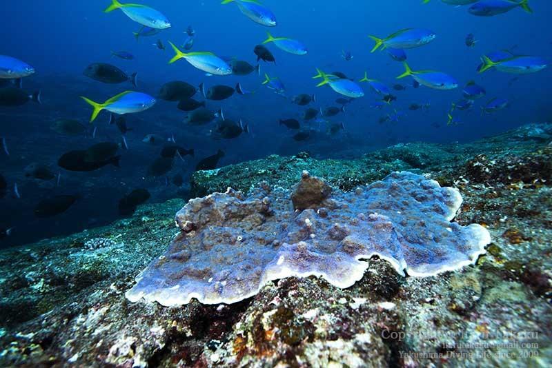 大隅諸島・黒島の海 -サンゴ調査より-_b0186442_20334100.jpg