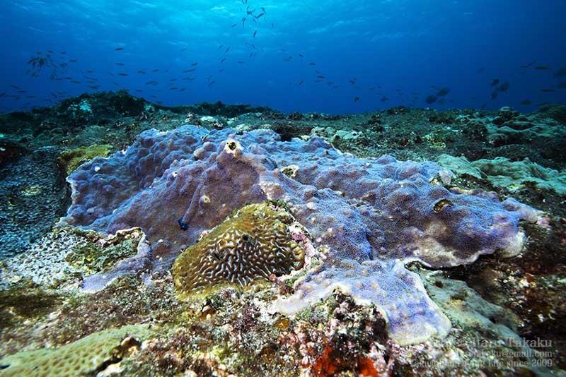 大隅諸島・黒島の海 -サンゴ調査より-_b0186442_20334118.jpg