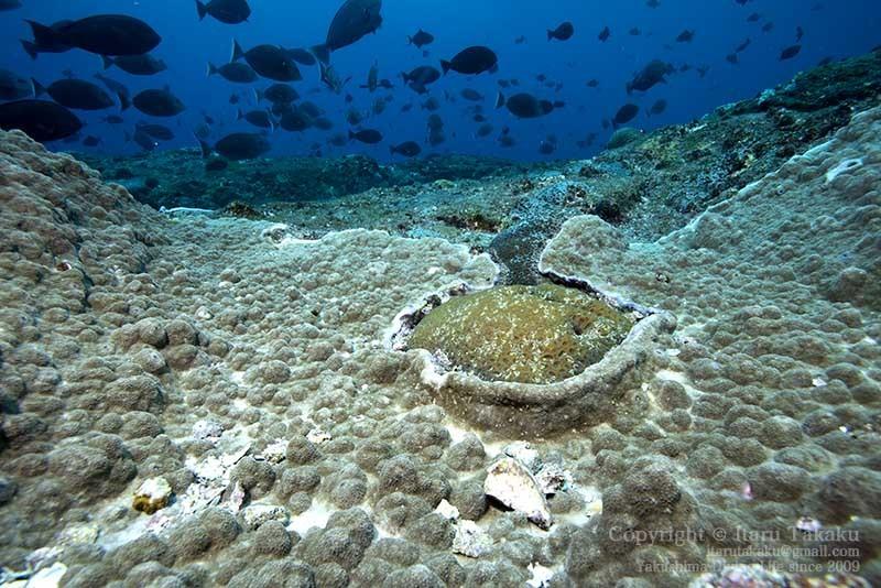 大隅諸島・黒島の海 -サンゴ調査より-_b0186442_20334225.jpg