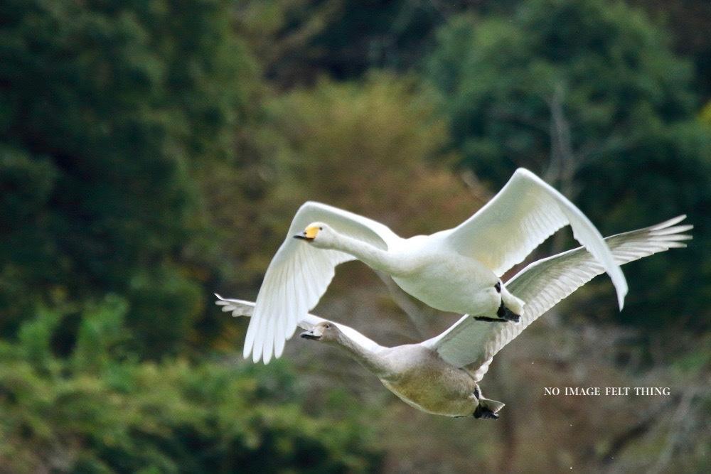 オオハクチョウの飛翔♪_d0367763_16382203.jpg