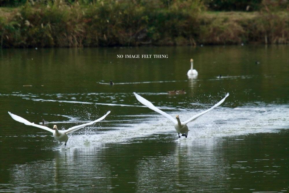 オオハクチョウの飛翔♪_d0367763_16382226.jpg