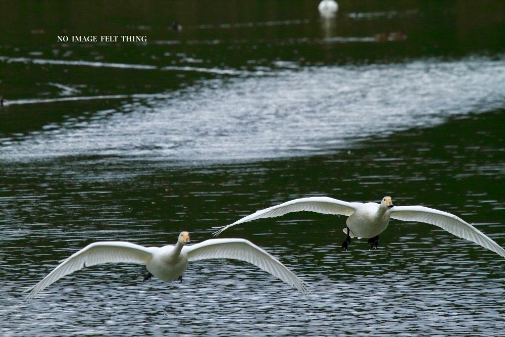 オオハクチョウの飛翔♪_d0367763_16382268.jpg