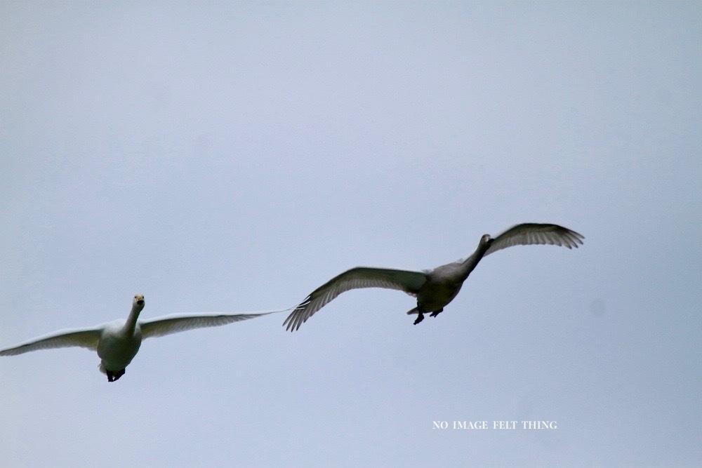 オオハクチョウの飛翔♪_d0367763_16382300.jpg