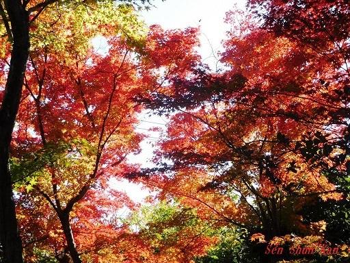 浄住寺の紅葉  2019年11月23日_a0164068_21401523.jpg