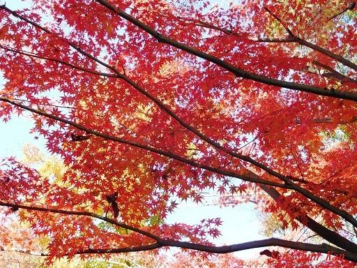 桂坂 野鳥遊園の紅葉  2019年11月23日_a0164068_23091775.jpg