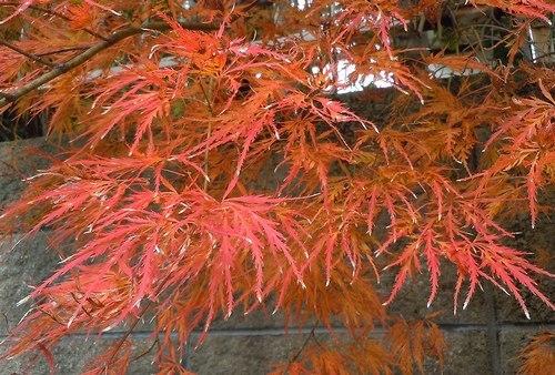 路傍の花、樹々の鳥(358) ~ ご近所の紅葉 ~_b0102572_10313055.jpg