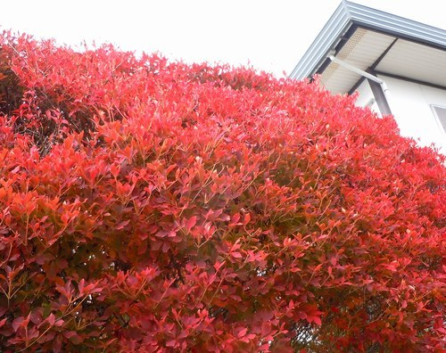 路傍の花、樹々の鳥(358) ~ ご近所の紅葉 ~_b0102572_17443803.jpg
