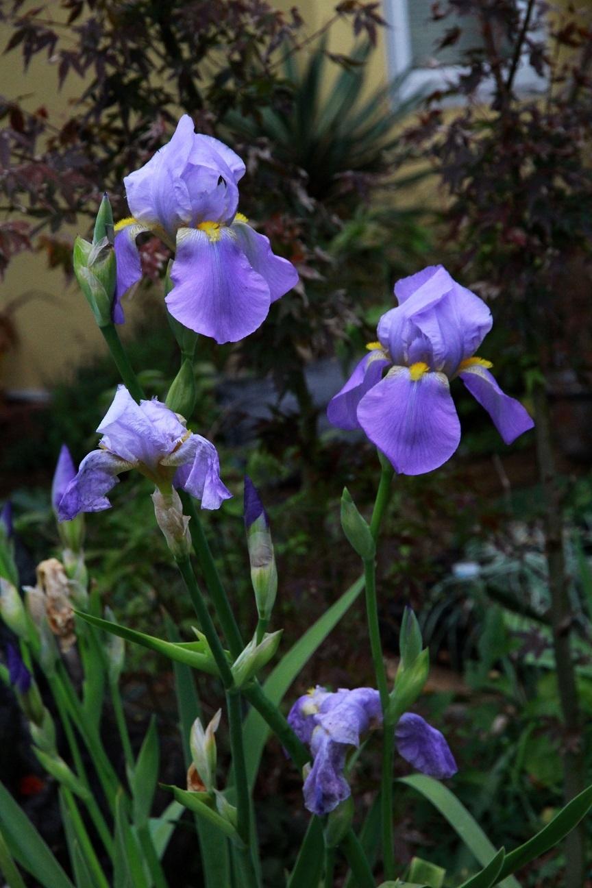 ジャーマンアイリスの狂い咲き_a0107574_17220413.jpg