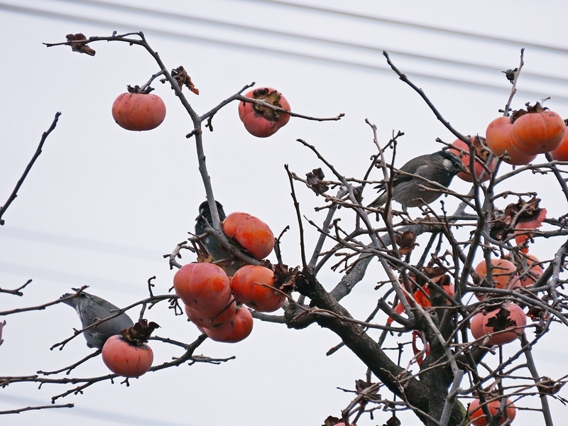 一茶忌の柿喰ふ椋鳥をゆるし置く   吉野義子_b0018682_14585757.jpg