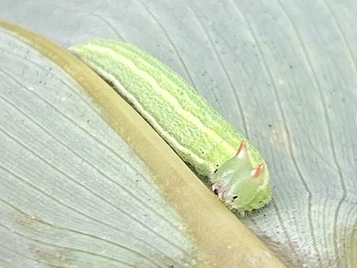 ヒメキマダラヒカゲの幼虫_b0145383_10573512.jpg