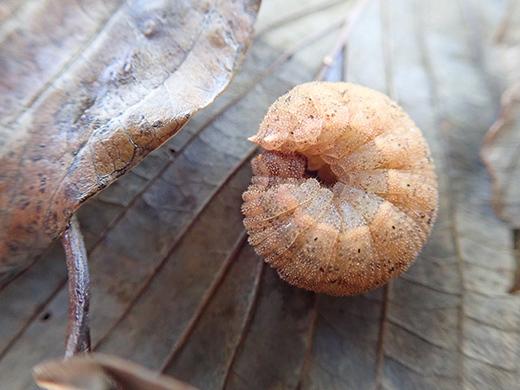 コジャノメの越冬幼虫探し(その1)_b0145383_15363295.jpg
