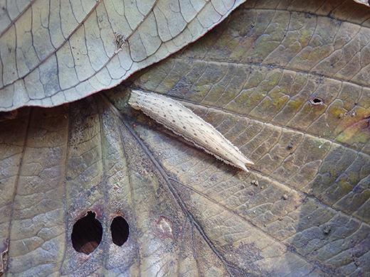 コジャノメの越冬幼虫探し(その1)_b0145383_15363391.jpg