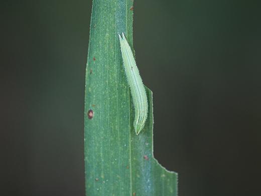コジャノメの越冬幼虫探し(その1)_b0145383_15363401.jpg