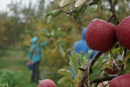 24泡目 ゆだまりんごオーナー 報告_a0117603_02270222.jpg