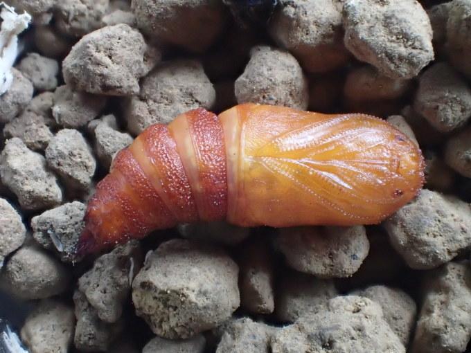 フユシャク幼虫飼育② カバシタムクゲエダシャク2019/11/28_d0251807_16431664.jpg