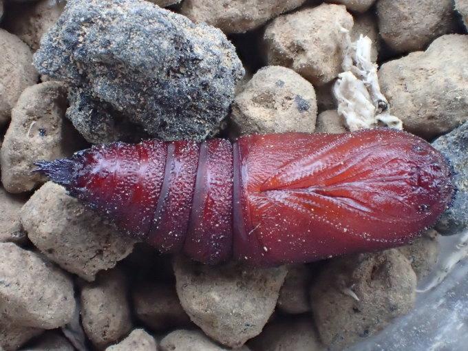 フユシャク幼虫飼育② カバシタムクゲエダシャク2019/11/28_d0251807_16435784.jpg