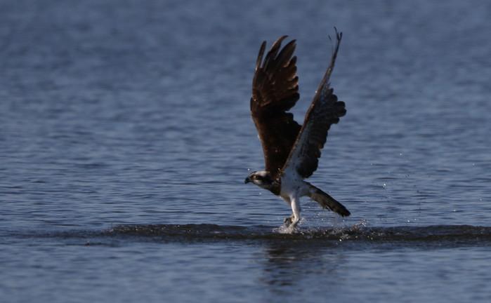 MFの沼でミサゴの狩りを その22_f0239515_17182625.jpg