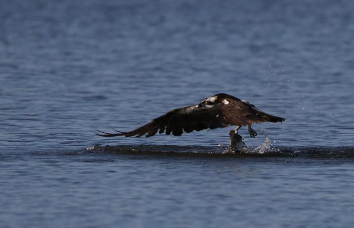 MFの沼でミサゴの狩りを その22_f0239515_17191254.jpg