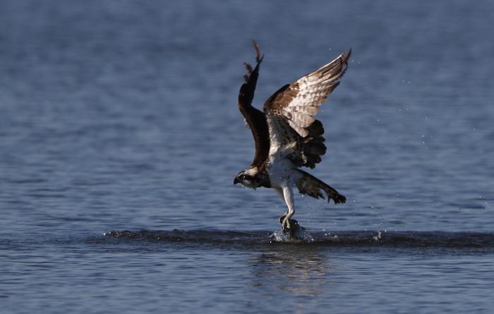 MFの沼でミサゴの狩りを その22_f0239515_17195728.jpg