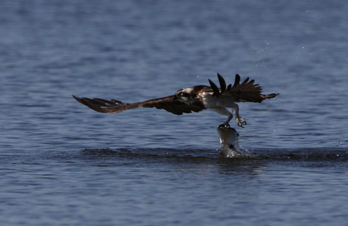 MFの沼でミサゴの狩りを その22_f0239515_1720238.jpg